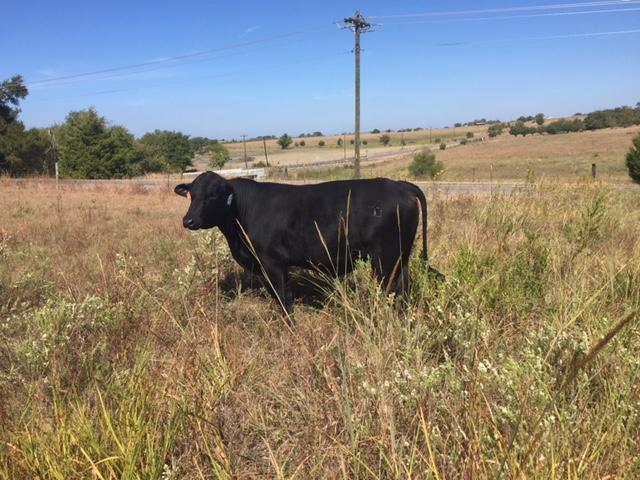 Braley Bull